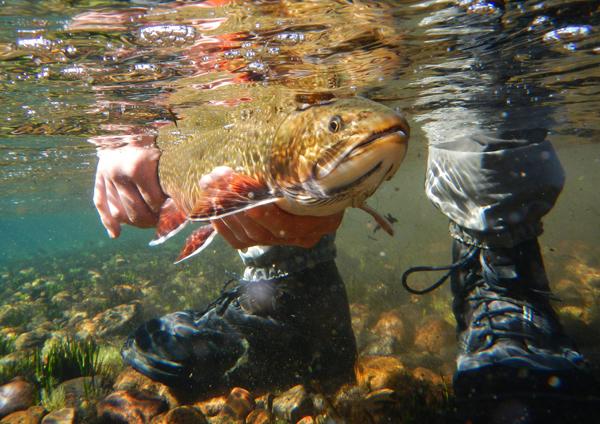 corcovado-brook-trout